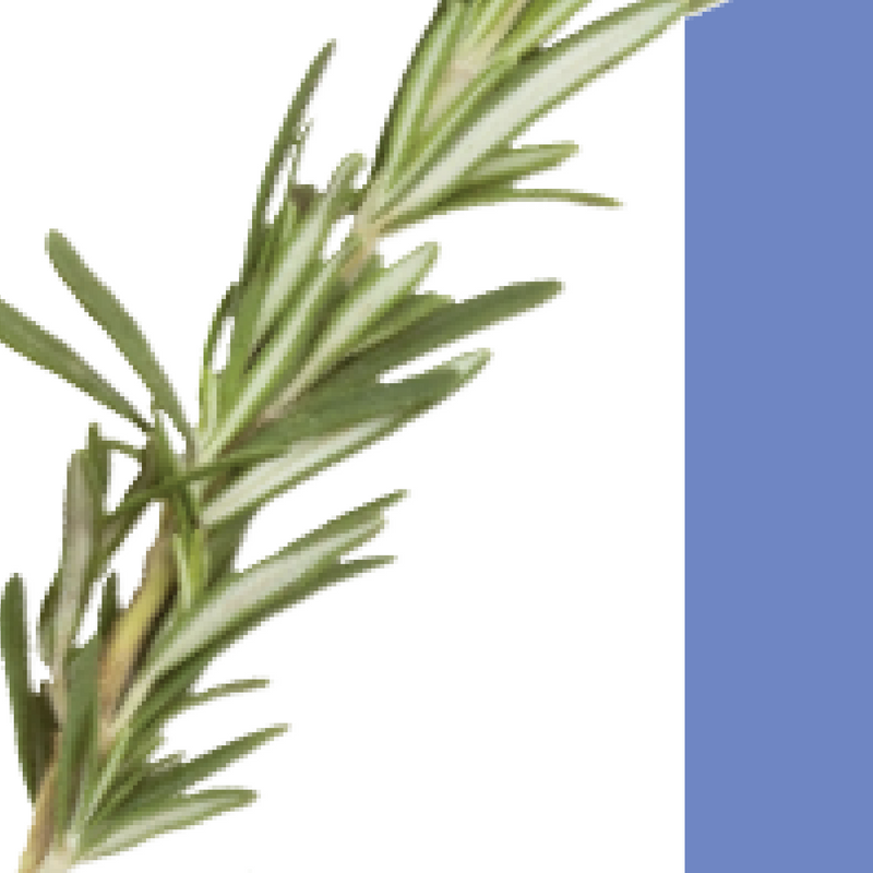 how to grow rosemary in singapore