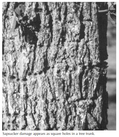 sapsucker-damage-appears-as-square-holes-in-a-tree-trunk