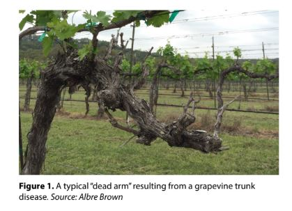 Grapevine Trunk Disease What Causes Grapevine Trunk Disease