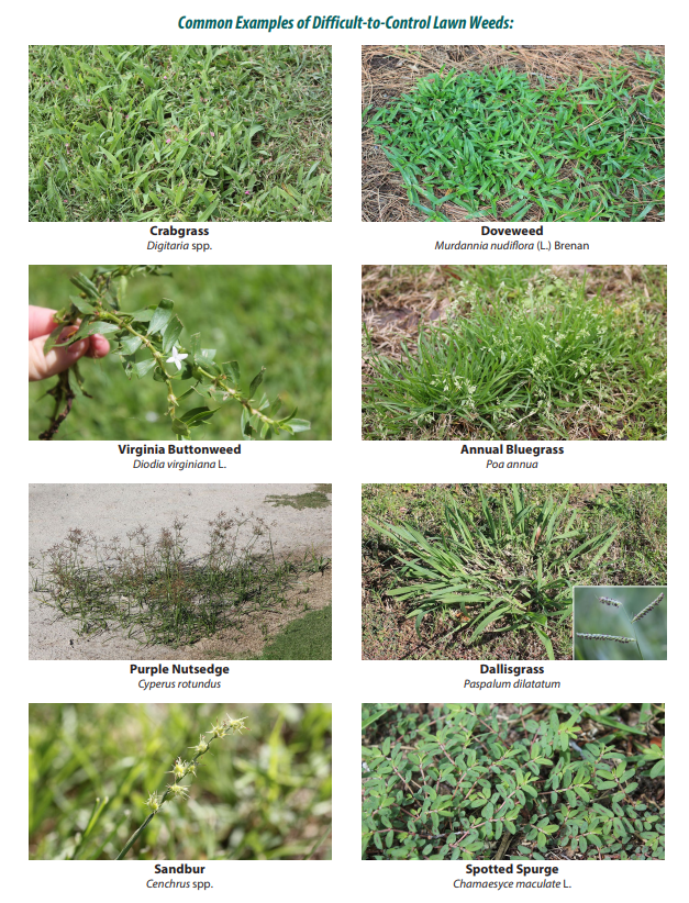 figure-65-common-examples-of-difficult-to-control-lawn-weeds